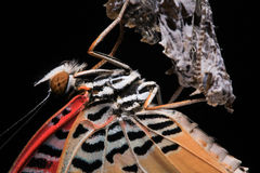 The Leopard Lacewing. Close-up. Butterfly (The Leopard Lacewing) isolated on black background stock images