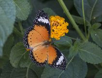 Leopard lacewing tropical butterfly royalty free stock photos