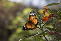 Leopard lacewing cethosia cyane butterfly. Leopard lacewing tropical cethosia cyane butterfly stock photo