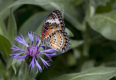 Leopard lacewing cethosia cyane butterfly. Leopard lacewing tropical cethosia cyane butterfly stock image