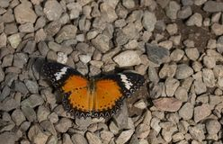 Leopard lacewing cethosia cyane butterfly. Leopard lacewing tropical cethosia cyane butterfly stock images