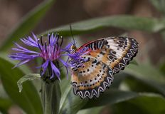 Leopard lacewing cethosia cyane butterfly. Leopard lacewing tropical cethosia cyane butterfly royalty free stock photography