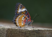 Leopard lacewing cethosia cyane butterfly royalty free stock images