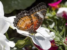 Leopard lacewing cethosia cyane butterfly. Leopard lacewing tropical cethosia cyane butterfly royalty free stock image