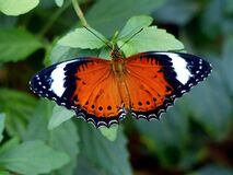 The Leopard Lacewing (Cethosia cyane) Stock Photos