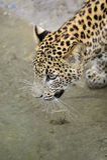 leopard lanka sri Στοκ Φωτογραφίες
