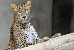 leopard lanka sri στοκ εικόνα με δικαίωμα ελεύθερης χρήσης