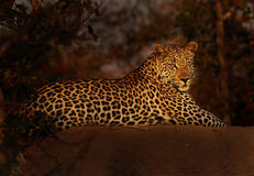 Leopard at Last Lght Stock Photos