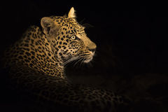 Leopard lay down in the darkness to rest Royalty Free Stock Images