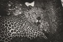 Leopard lay down in tree to rest and relax artistic conversion Stock Photo