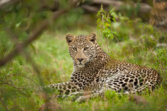 Leopard laying down stock photography