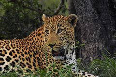 Leopard  laying down by a tree Stock Photography