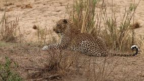 Leopard laying in the grass stock video footage