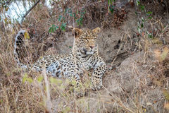 Leopard laying in the grass. Royalty Free Stock Images