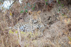 Leopard laying in the grass. Royalty Free Stock Photography