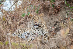 Leopard laying in the grass. Stock Image