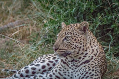 A Leopard laying in the grass. Royalty Free Stock Image