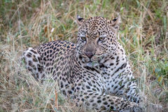 A Leopard laying in the grass. Stock Images