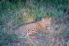 Leopard laying in the grass in the spotlight. Royalty Free Stock Photos