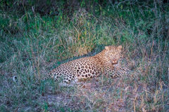 Leopard laying in the grass in the spotlight. Royalty Free Stock Photography