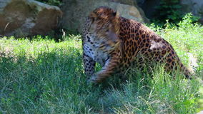 Leopard laying in the grass stands up