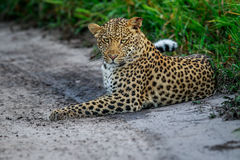 Leopard laying in sand. Stock Image