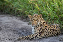 Leopard laying in sand. Royalty Free Stock Images