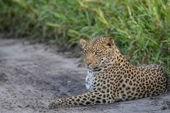 Leopard laying in sand. Stock Images