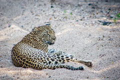 Leopard laying in the sand. Stock Photo