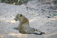 Leopard laying in the sand. Royalty Free Stock Images