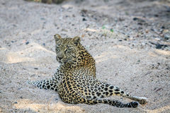 Leopard laying in the sand. Stock Images