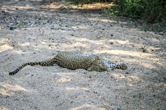 Leopard laying in the sand. Royalty Free Stock Photography