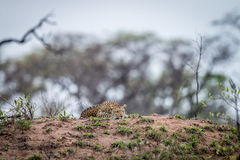 Leopard laying on a termite mount. Royalty Free Stock Images