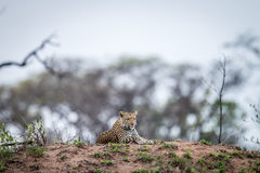 Leopard laying on a termite mount. Stock Image