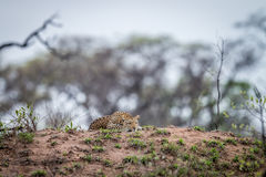 Leopard laying on a termite mount. Stock Photography