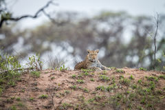 Leopard laying on a termite mount. Royalty Free Stock Photos