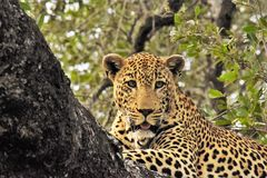 Leopard  laying in the tree Royalty Free Stock Photography
