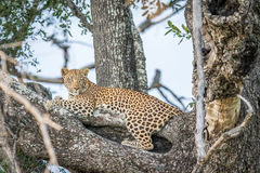 Leopard laying in a tree. Stock Image