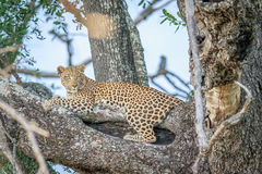 Leopard laying in a tree. Royalty Free Stock Photo