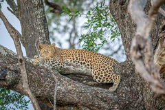 Leopard laying in a tree. Stock Photography