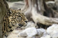 Leopard Leaning Behind Tree Royalty Free Stock Photo