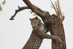 Leopard Leaning on Tree Stock Images