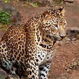 Leopard. Looking at something with interest stock images