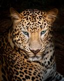 Leopard. Is looking at something royalty free stock images