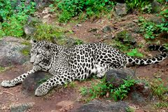 Leopard. Portrait lying on the ground stock image