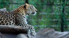 leopard stockfoto