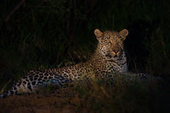 Leopard lies in darkness in grass waiting for prey Royalty Free Stock Photo