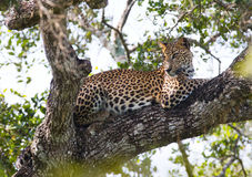 The leopard lies on a large tree branch. Sri Lanka. Royalty Free Stock Image