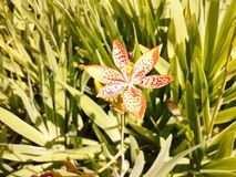 Impressive Leopard Lily  Royalty Free Stock Photos