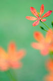 Leopard lily Royalty Free Stock Images
